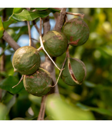 Makadamské oříšky - Macadamia integrifolia - semena - 2 ks