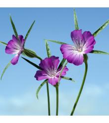 Koukol polní - Agrostemma githago - semena - 50 ks