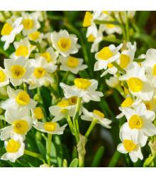 Narcis Avalanche - Narcissus - cibuloviny - 3 ks