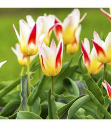 Tulipán Johann Strauss - Tulipa - cibuloviny - 3 ks