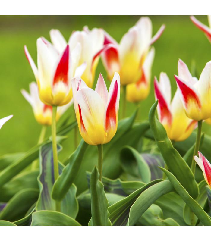 Cibulky tulipánů - tulipán Johann Strauss - 3 ks