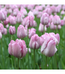 Tulipán Candy Prince - Tulipa - cibuloviny - 3 ks
