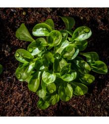 BIO Kozlíček polníček Vít - Vallerianella locusta - BIO semena - 100 ks
