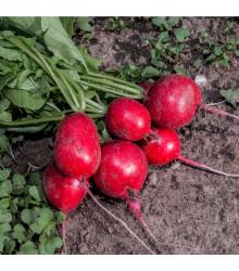 BIO Ředkvička červená Sora - Raphanus sativus - bio semena - 40 ks