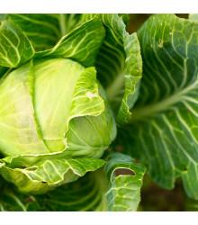 BIO Zelí bílé Filderkraut - Brassica oleracea - BIO semena - 50 ks