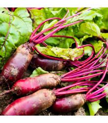 BIO Řepa salátová Forono - Beta vulgaris - BIO semena - 100 ks