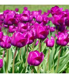 Tulipán Negrita - Tulipa negrita - cibuloviny - 3 ks