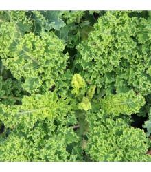 BIO Kadeřávek Lerchenzungen - Brassica oleracea L. - bio semena - 150 ks