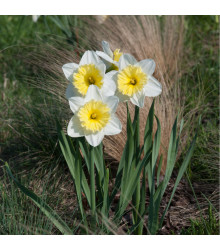 Narcis Ice Follies - Narcissus L. - cibuloviny - 3 ks