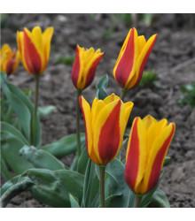 More about Tulipán Stresa - Tulipa - cibuloviny - 3 ks