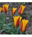 Tulipán Stresa - Tulipa - cibuloviny - 3 ks