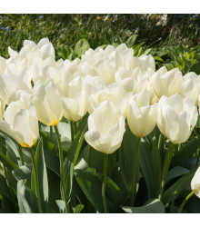 Tulipán White Purissima - Tulipa - cibuloviny - 3 ks
