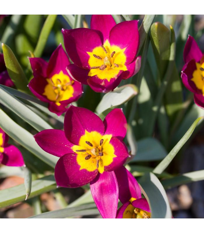 Tulipán Eastern Star - Tulipa - cibuloviny - 3 ks