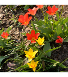 Směs nízkých tulipánů - Tulipa - cibuloviny - 24 ks