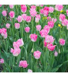 Tulipán Dynasty - Tulipa - cibuloviny - 3 ks