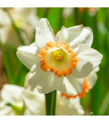 Narcis Pink Charm - Narcissus L. - cibuloviny - 3 ks