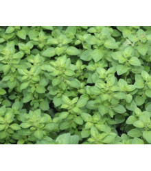More about Oregano Paula - Origanum vulgare - semena - 150 ks