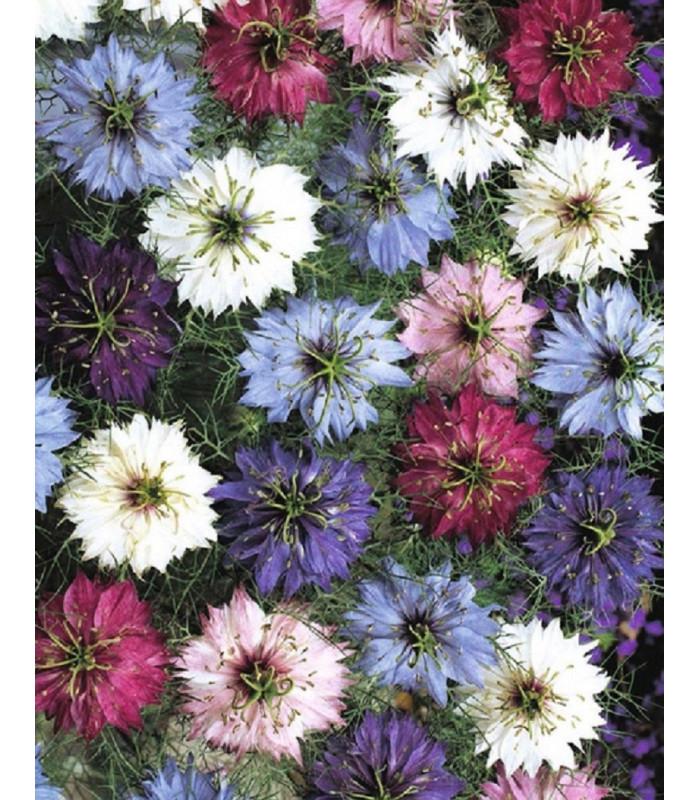 Černucha damašská - Nigella damascena - semena - 25 ks - směs barev
