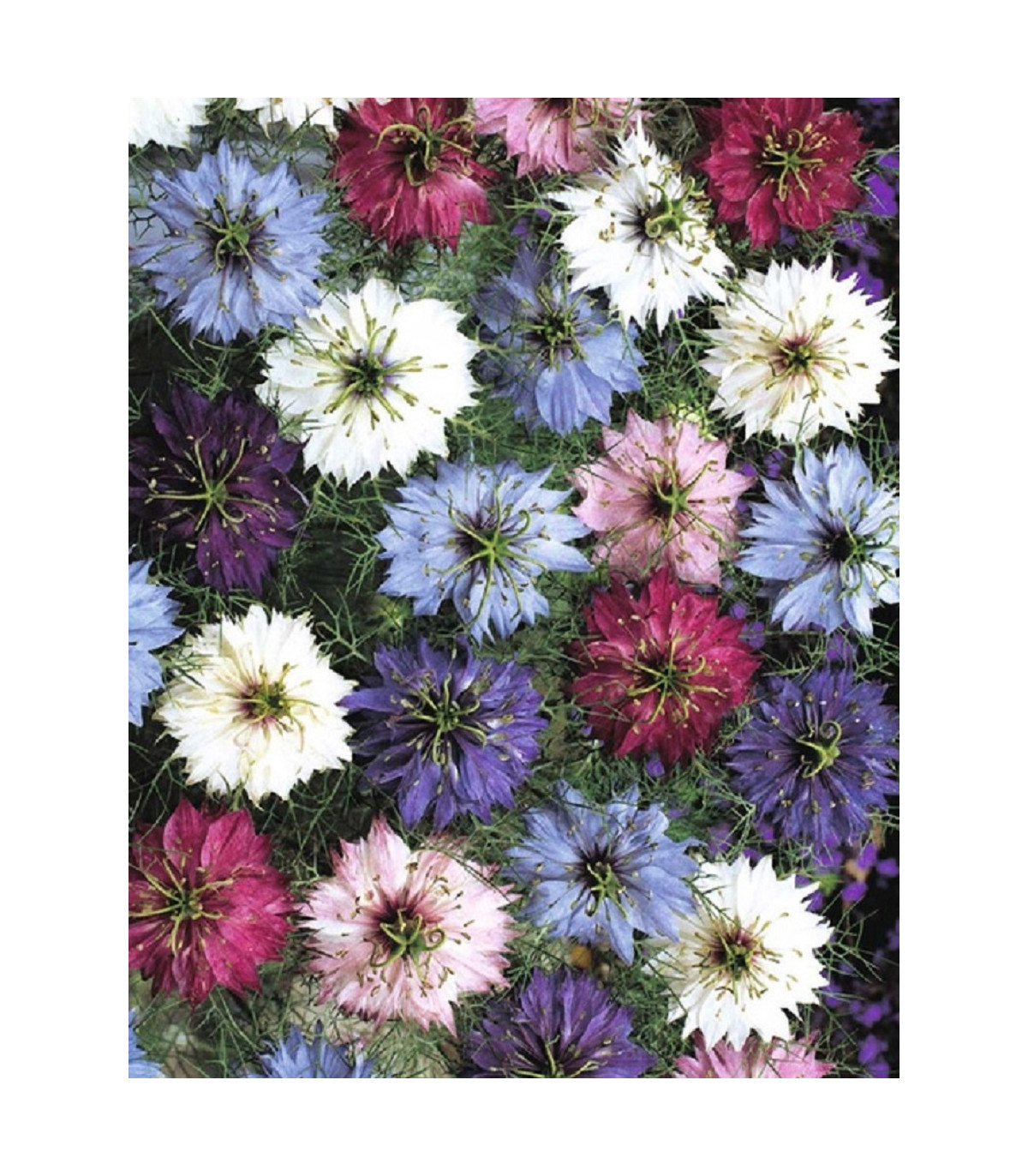 Černucha damašská směs - Nigella damascena - semena černuchy - 25 ks