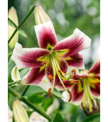 Lilie Leslie Woodriff - Lilium - cibuloviny - 1 ks