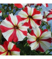 Petúnie mnohokvětá Henrietta F1 - Petunia hybrida - semena - 30 ks