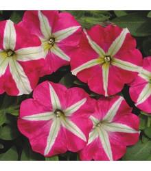 Petúnie mnohokvětá Belinda F1 - Petunia hybrida - semena - 30 ks