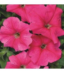 Petúnie mnohokvětá Rita F1 - Petunia hybrida - semena - 30 ks