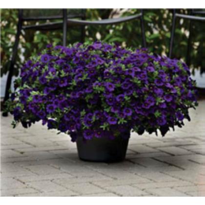Calibrachoa hybrida - Kabloom Blue F1 - minipetúnie - milionbells