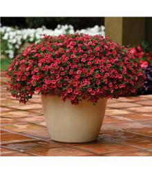 Calibrachoa hybrida - Kabloom Coral F1 - minipetúnie - milionbells -