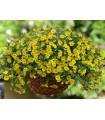 Minipetúnie Kabloom Yellow F1 - Milionbells - Calibrachoa hybrida - semena - 7 ks