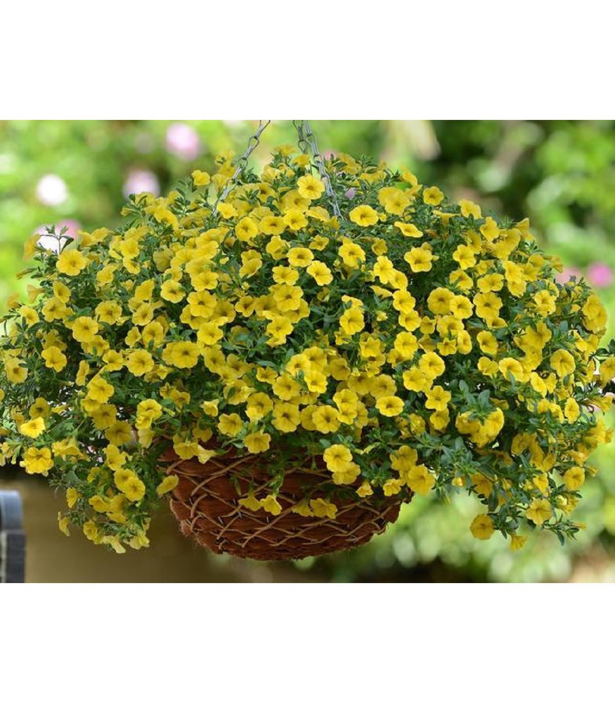 Minipetúnie - Calibrachoa hybrida - Kabloom Yellow  F1 - milionbells - 7 ks