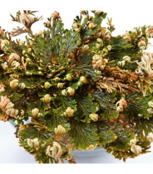 Růže z Jericha - Selaginella lepidophylla - cibuloviny - 1 ks