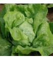 Salát hlávkový raný Amur - Lactuca sativa - semena - 500 ks