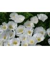 Mák bílý Bridal Silk - Papaver rhoeas - semena - 150 ks