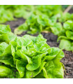 Salát hlávkový celoroční Lento - Lactuca sativa - semena - 500 ks