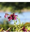 Tabák okrasný vonící Deep purple F1 - Nicotiana - semena - 50 ks