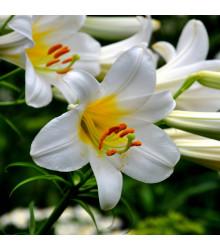 Balíček cibulek lilií - Lilium - cibuloviny - 3 ks
