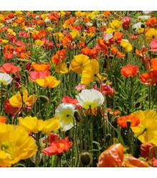 Mák islandský směs barev - Papaver nudicaule - semena - 50 ks