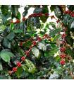 Kávovník arabský Himalaya - Coffea arabica Himalaya - semena - 5 ks