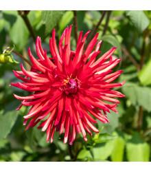 Astra čínská jehlicovitá červená - Callistephus chinensis - semena - 150 ks