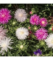 Astra čínská jehlicovitá směs - Callistephus chinensis - semena - 150 ks