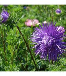 Astra čínská jehlicovitá fialová Denisa - Callistephus chinensis - semena - 150 ks