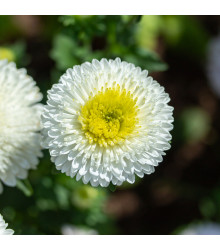Astra čínská Gracia - Callistephus chinensis - semena - 150 ks