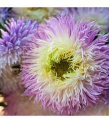Astra čínská fialová Gerda - Callistephus chinensis - semena - 150 ks