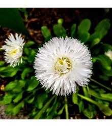 Astra čínská bílá Gaia - Callistephus chinensis - semena - 150 ks