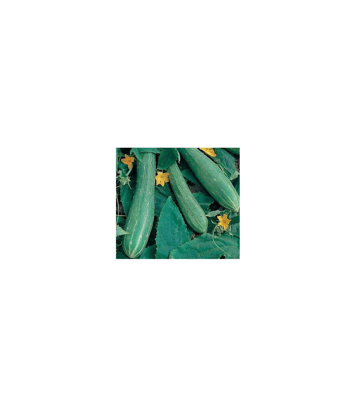 Salátová okurka - Cucumis sativus - semínka okurek - 25 ks