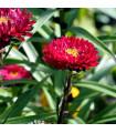 Astra čínská červená Gilda - Callistephus chinensis - semena - 150 ks