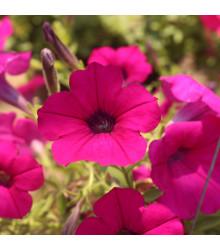 Petúnie Purple Velvet F1 - Petunia hybrida - semena - 12 ks