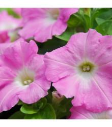 Petúnie Rosy Velvet F1 - Surfínie - Petunia hybrida - semena - 12 ks