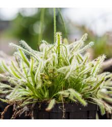 Rosnatka kapská nízká White flower - Drosera Capensis - semena - 15 ks